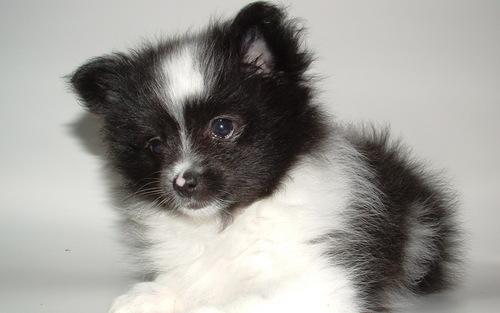 pommers, pommeren puppy
