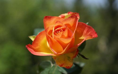 Pretty roses