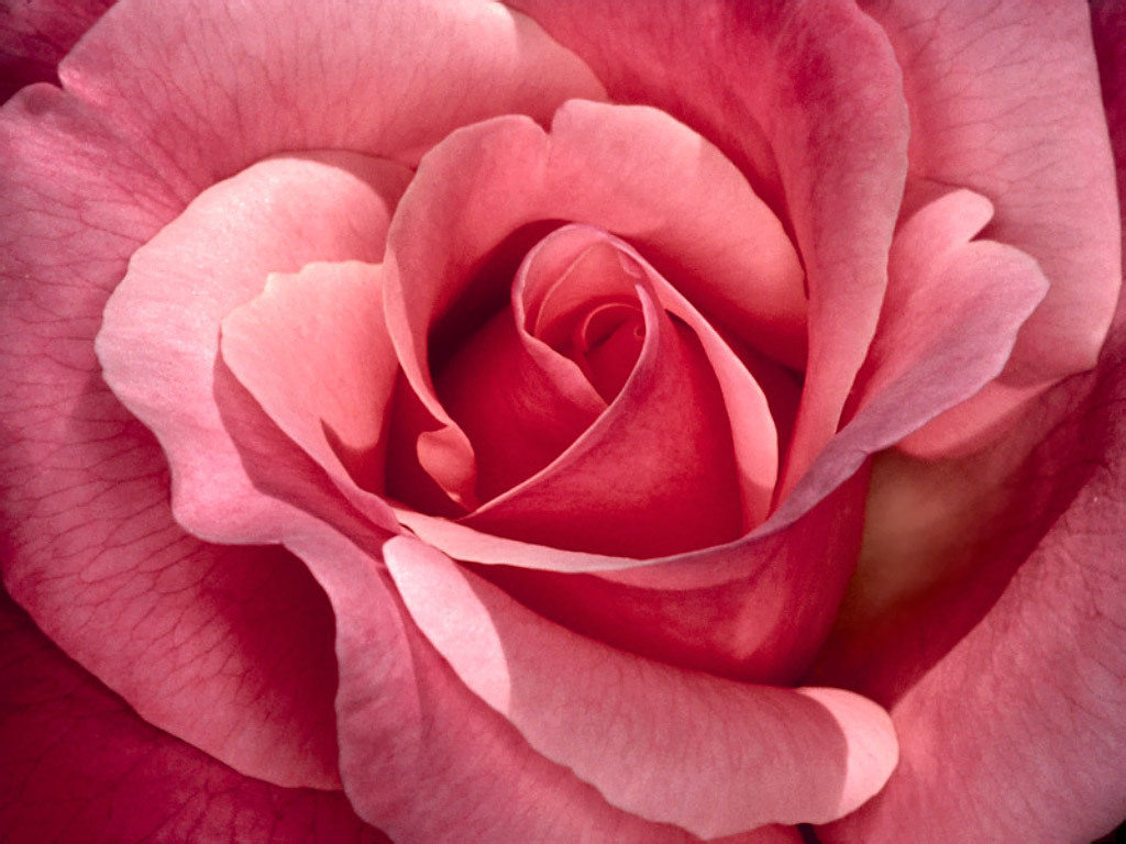 Pretty roses roses wallpaper 16093168 fanpop - Pretty roses wallpaper ...