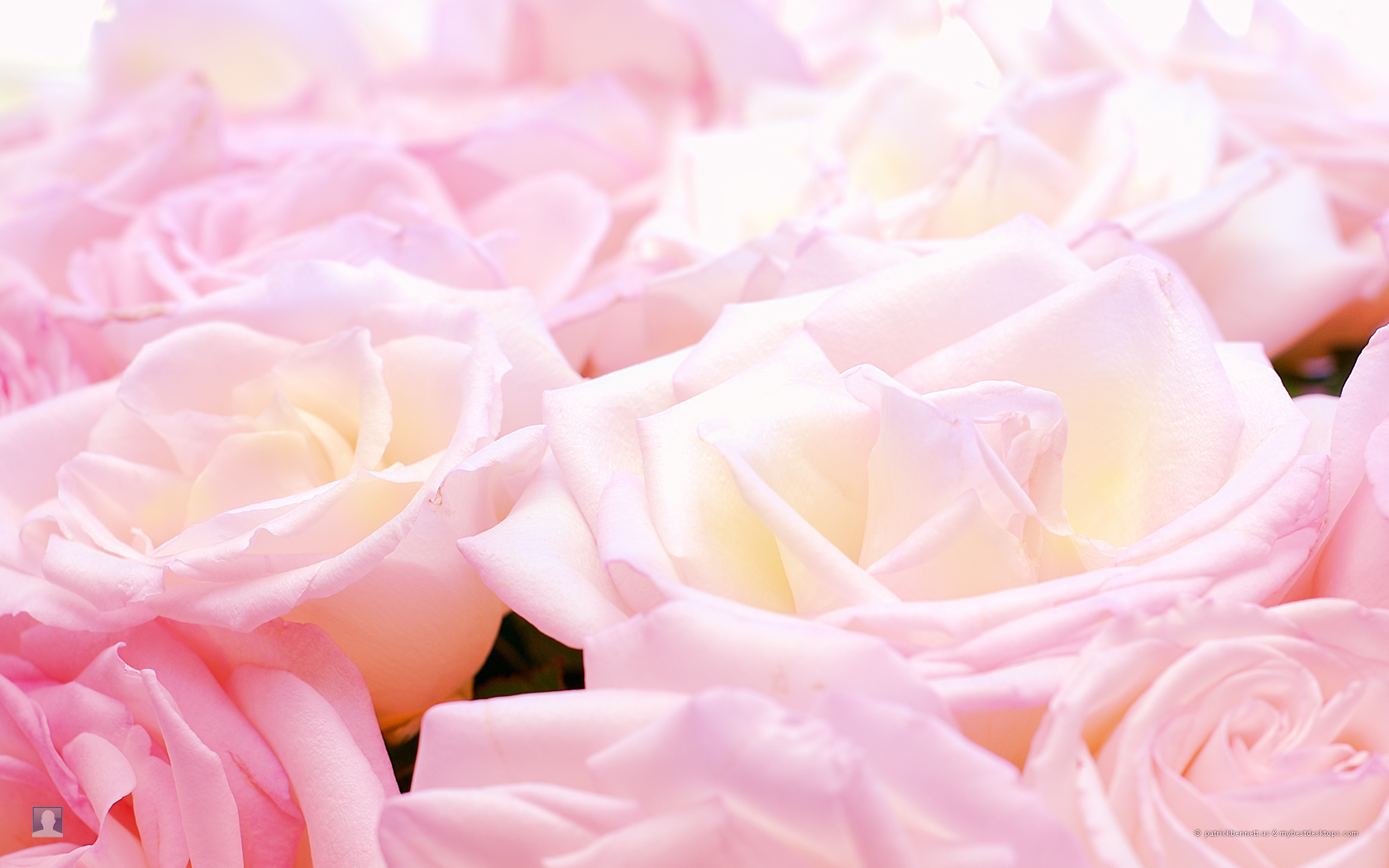Roses images Pretty Roses HD wallpaper and background photos (16093216 ...