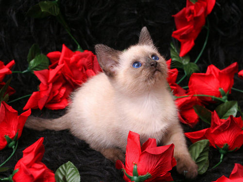 Roses wallpaper containing a siamese cat called Pretty Roses