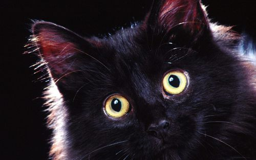Beautiful Black Cat <3 - cats Wallpaper
