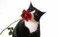 Beautiful Cat and Red Rose  - cats wallpaper