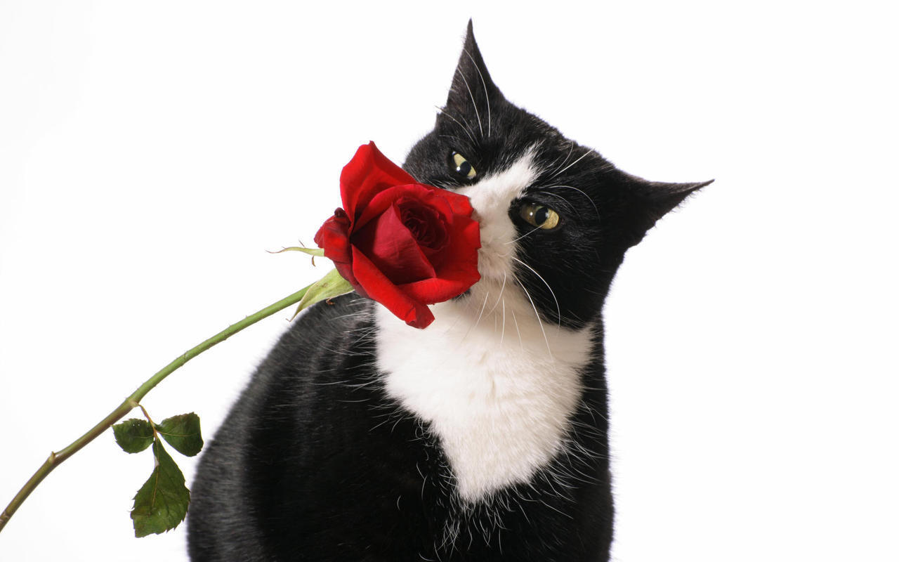 Roses Beautiful Cat and Red Rose
