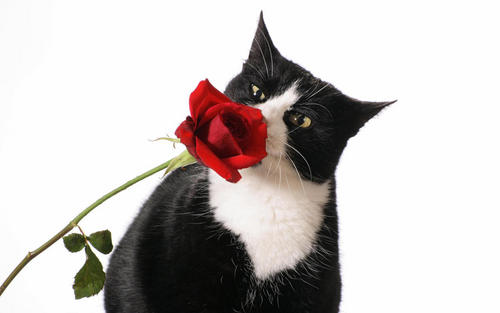 Beautiful Cat and Red Rose