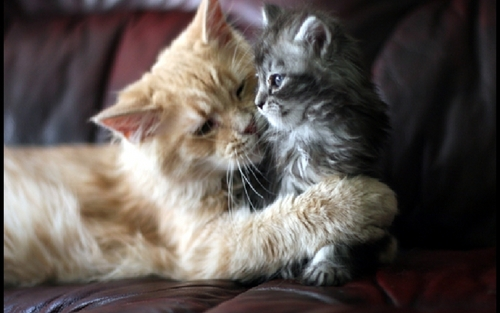 Cats wallpaper with a persian cat called Beautiful Cat and kitten