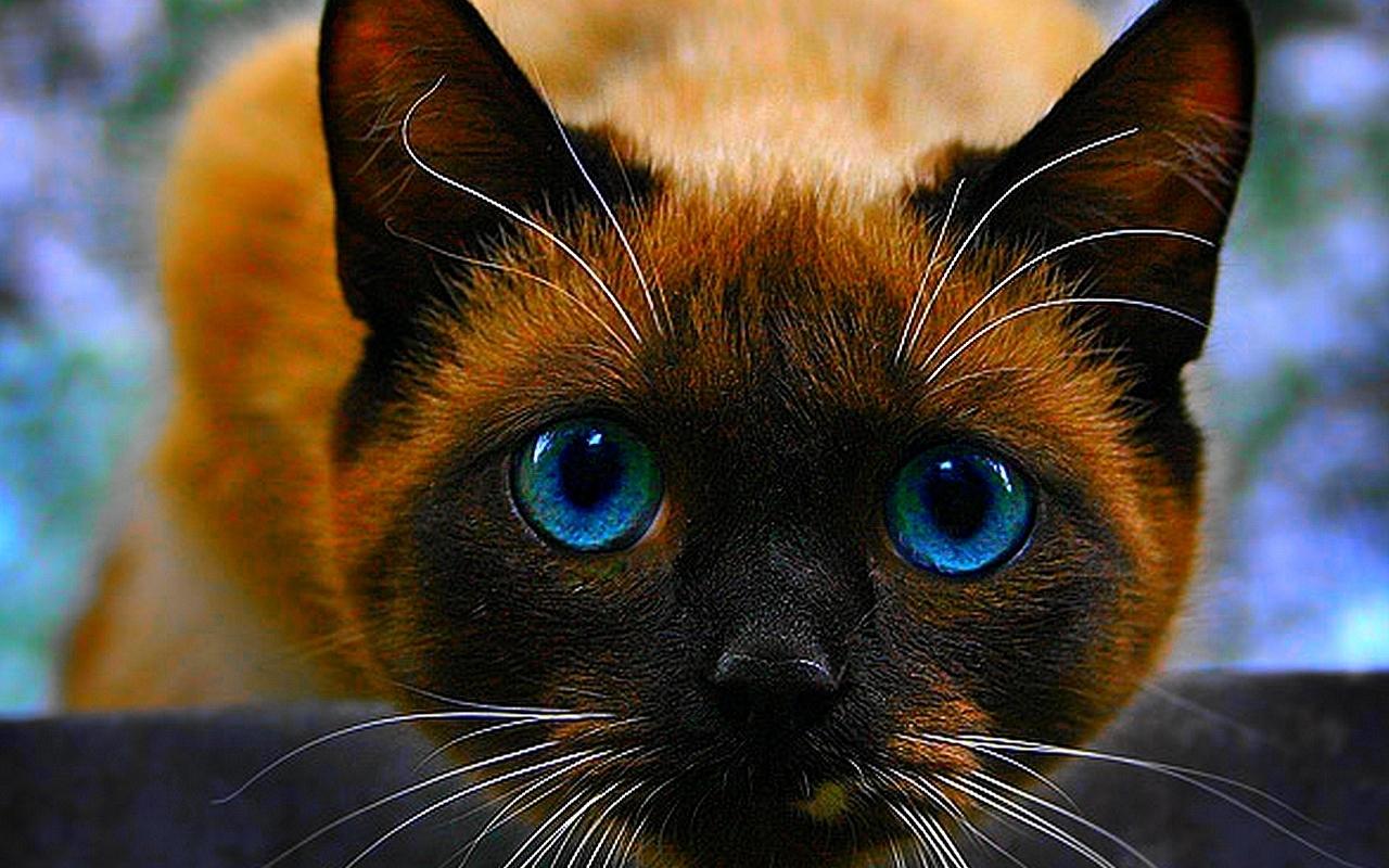 Beautiful cat cats wallpaper 16122429 fanpop - Beautiful image ...