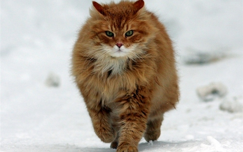 Cats images Big Red on the Run :) HD wallpaper and background photos