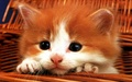 kittens - Cute Kitten wallpaper