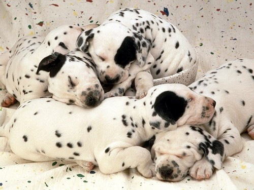 Dogs wallpaper containing a dalmatian titled Dog Wallpaper