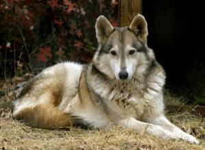 Slavka, my lobo hybrid :3