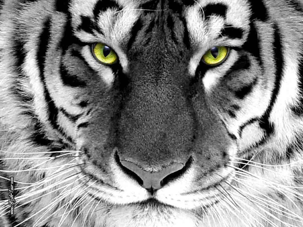 essay tiger our national animal