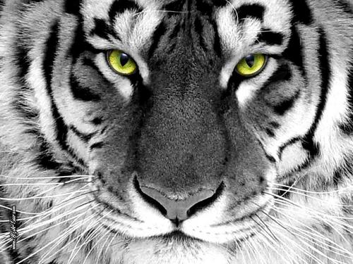 Angry Tiger Tigers Wallpaper 31737545 Fanpop Page 3