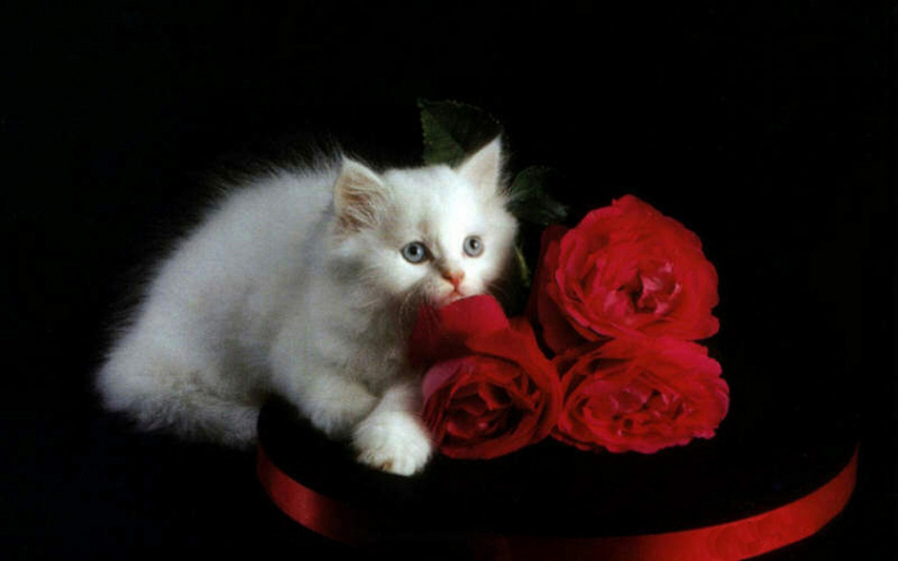 Kittens white kitten and red roses
