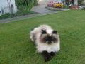 my cat Gizmo - fanpop-pets screencap