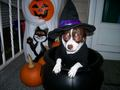 All dressed up for Halloween - chihuahuas wallpaper