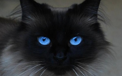 Cats wallpaper probably containing a siamese cat entitled Beautiful Blue Eyes