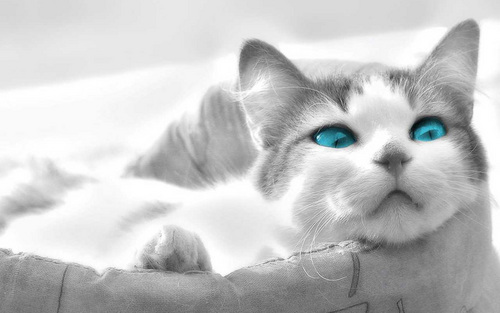 Beautiful Blue Eyes - cats Wallpaper