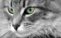 Beautiful Eyes - cats wallpaper