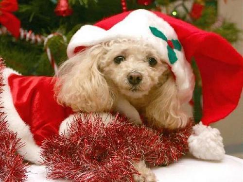 クリスマス Dog