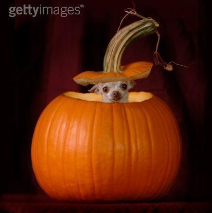 Halloween چہواہوا, چاہوہوا