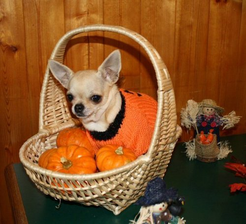 Chihuahuas wallpaper containing a chihuahua titled Halloween Chihuahua