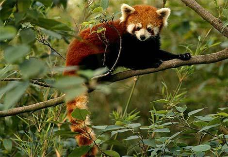 Red panda karatasi la kupamba ukuta containing a lesser panda entitled I Adore Red Panda ♡ ♡ ♡