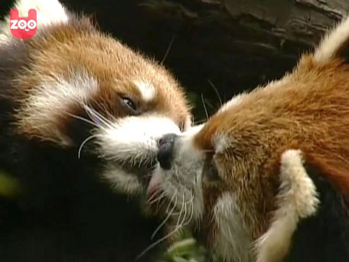 Red Pandas Hintergrund containing a lesser panda called I Adore Red Panda ♡ ♡ ♡