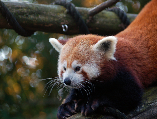 Red Pandas پیپر وال probably with a lesser panda called I Adore Red Panda ♡ ♡ ♡