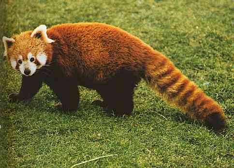 Red Pandas Hintergrund with a lesser panda called I Adore Red Panda ♡ ♡ ♡
