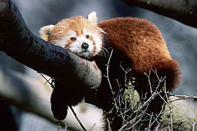 Red panda karatasi la kupamba ukuta possibly with a lesser panda called I Adore Red Panda ♡ ♡ ♡