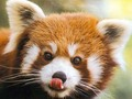 I Adore Red Panda  ♡ ♡ ♡ - red-pandas wallpaper