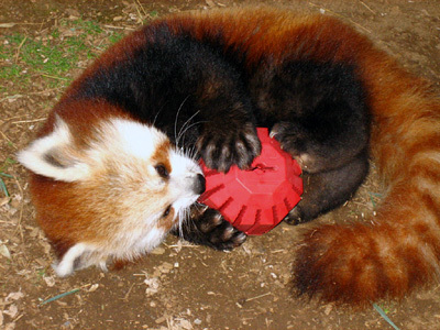 Red Pandas Hintergrund titled I Adore Red Panda ♡ ♡ ♡