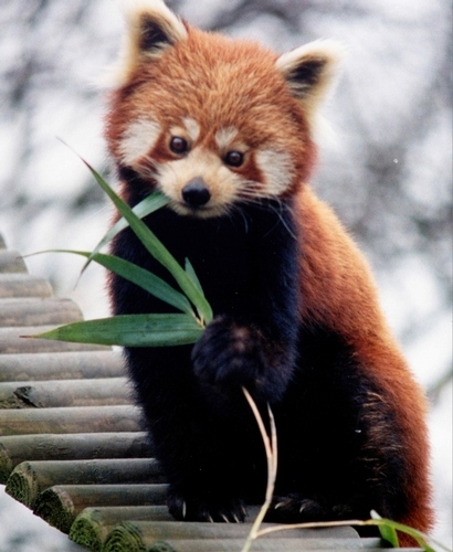 Red Pandas Hintergrund entitled I Adore Red Panda ♡ ♡ ♡