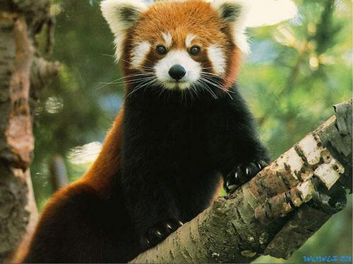 Red Pandas پیپر وال possibly with a lesser panda titled I Adore Red Panda ♡ ♡ ♡