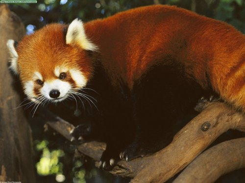 Red Pandas پیپر وال containing a lesser panda titled I Adore Red Panda ♡ ♡ ♡