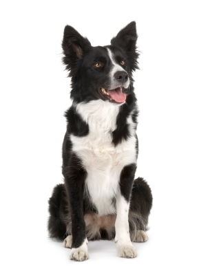 border collie, bordercollie
