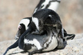 Penguin LOVE - penguins photo