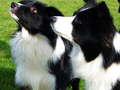 Beautiful Border Collies