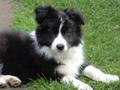 Beautiful Border Collie - border-collie photo