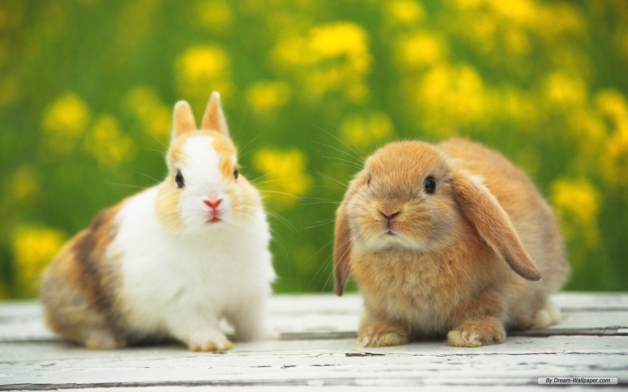 bunny rabbits images bunnies hd wallpaper and background