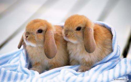 Bunnies - bunny-rabbits Wallpaper