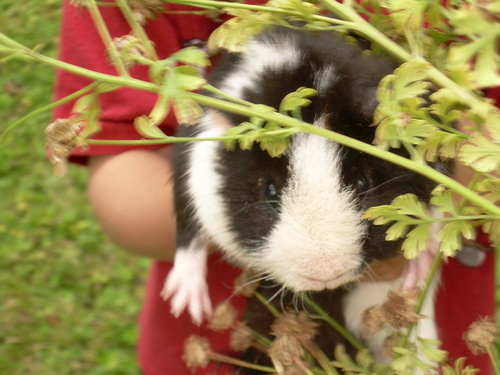 My guinea pig oreo - guinea-pigs Photo