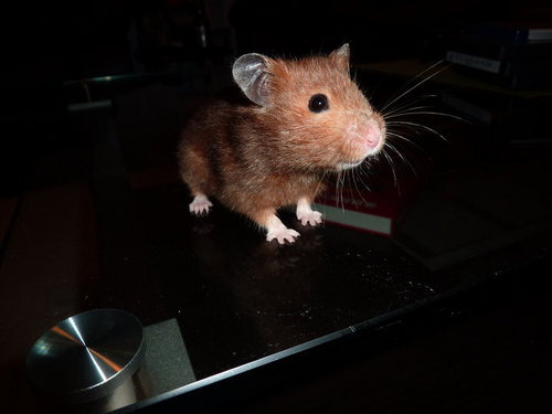 Hamsters wallpaper possibly containing a hamster, a mouse, and a rat titled Patatine