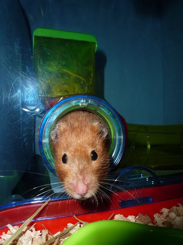 Hamsters wallpaper containing a hamster titled Patatine