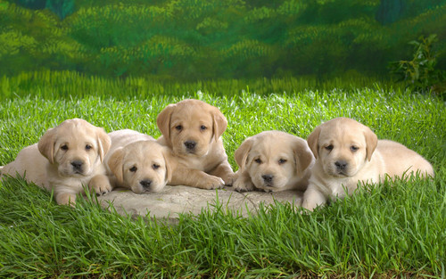 Puppies wallpaper possibly containing a labrador retriever titled Puppies