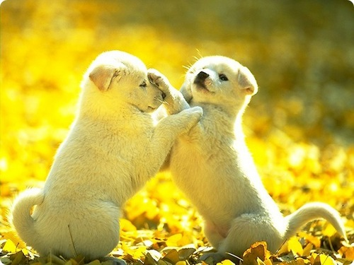 Puppies wallpaper probably with a harp seal entitled Puppies