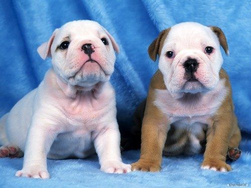 Puppies wallpaper possibly with a bulldog called Puppies