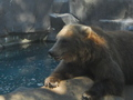 A Grizzly Bear Chilling Out - zoos photo