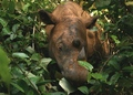 A Sumatran Rhino Eating Leaves in the Jungle of Indonesia